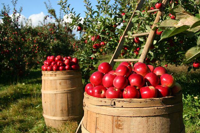 Jabłka będą droższe niż pomarańcze