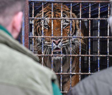 Tygrysy z przejścia granicznego. Rosjaninowi grożą trzy lata