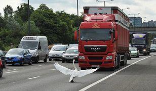Ptak wstrzymał ruch uliczny