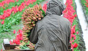 Dzień Kobiet. Gdzie najtaniej kupić tulipany? Sprawdź ceny