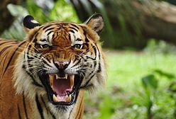 W Indiach grasuje niebezpieczne zwierzę. Nazwali je T-1, wciąż jest na wolności