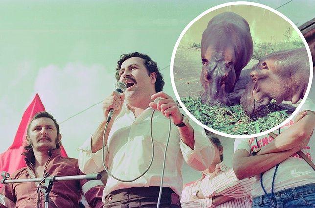 Pablo Escobar ściągnął do Kolumbii afrykańskie hipopotamy, które żyją teraz na wolności