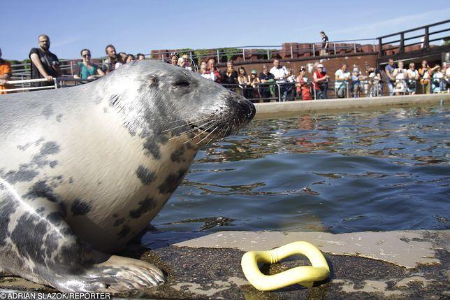 Kto zabija polskie foki? Rybacy, za to, że wyjadają im z sieci łososie