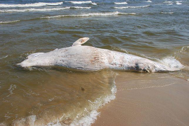 Martwy wieloryb na plaży na Mierzei Wiślanej. Morze Bałtyckie wyrzuciło 3-tonowego giganta
