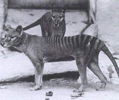 Ostatnie wilkowory zmarły w latach 1930