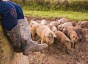 Wirus afrykańskiego pomoru świń w Polsce?