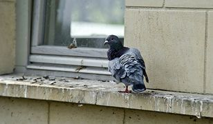Hiszpania. Okradali używając ptasich odchodów. Trafili w ręce policji