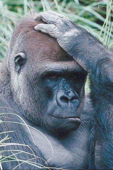 """Czeska """"pomoc"""" dla Afryki - siedem ton książek o gorylach"""