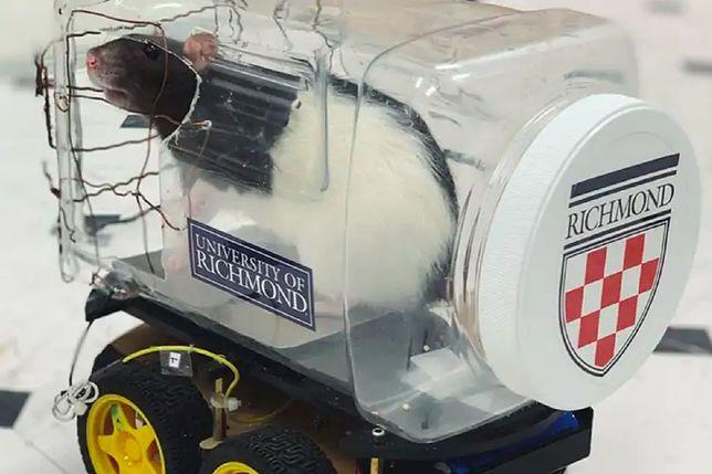 Szczury nauczyły się prowadzić małe pojazdy