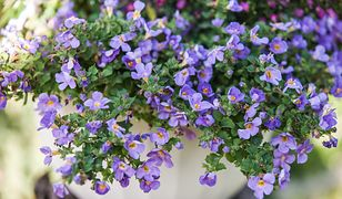 Bakopa (zwana też suterą) – kwitnie od czerwca do września