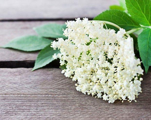 Właściwości kwiatów czarnego bzu