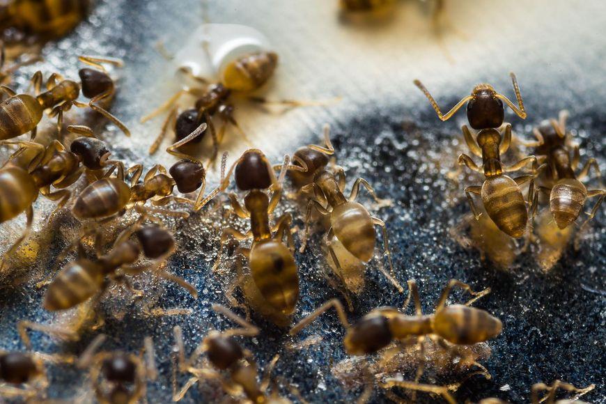 Walka z nimi jest niezwykle trudna i nie gwarantuje, że gdy mrówki znikną, już nigdy się nie pojawią