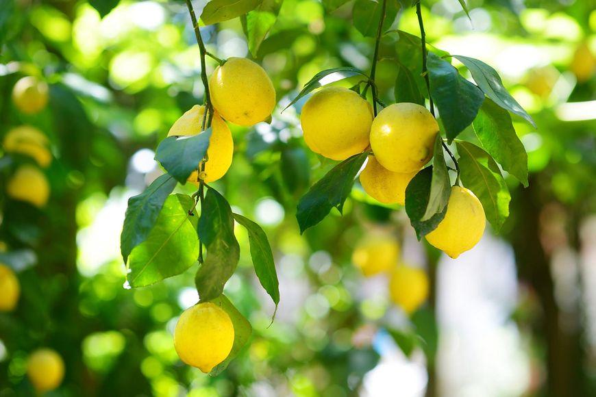 Cytryny to silna dawka zdrowia
