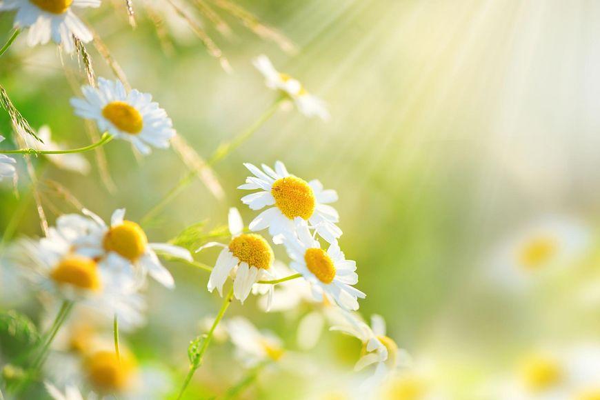 Kwiaty cięte lubią słońce, ale w ograniczonych ilościach