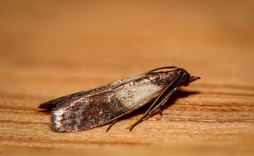 Jeśli w mące, kaszy, ryżu czy makaronie znajdziesz białe larwy, możesz mieć pewność, że wkrótce po twojej kuchni zaczną latać brązowe mole