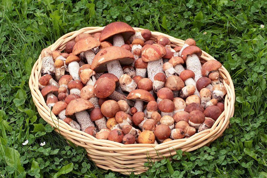 Zbyt młode grzyby mogą być niebezpieczne