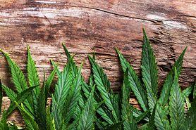 Medyczna marihuana – nauka, kontrowersje i historia