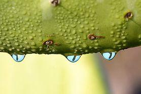 Właściwości wody z kaktusa. 6 powodów, dla których warto ją pić
