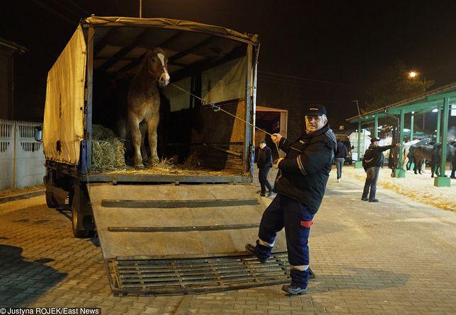 Poseł PiS chciał uratować konie idące na rzeź, nadając im status zwierząt towarzyszących