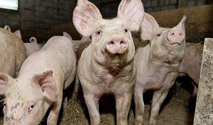 USA ma podejrzenia do dwóch polskich producentów wieprzowiny.