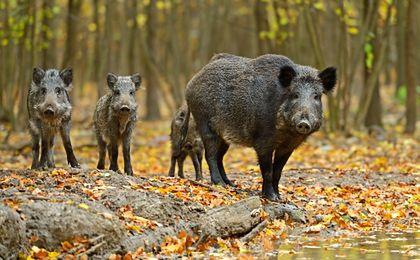 Białoruś chce wybić wszystkie dziki