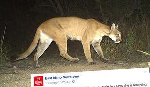 Puma próbowała upolować czterolatkę. Rodzicom udało się uwolnić dziewczynkę