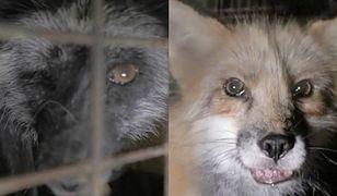 W Polsce rocznie zabija się ok. 100.000 lisów przeznaczonych na futra.