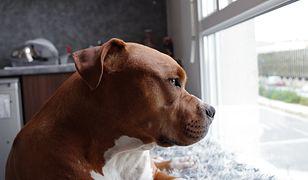 Przemyśl. Sąd uchylił areszt dla właściciela psów, który zagryzły 12-latka