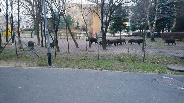 Poznań. Dziki wtargnęły do ogródka przedszkolnego. Jeden osobnik jest agresywny