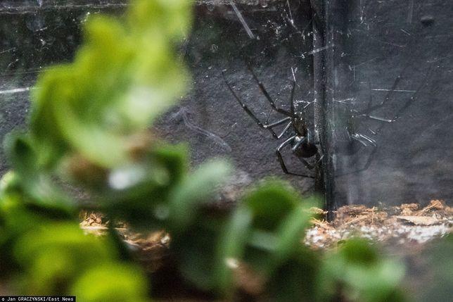 Eksperci ostrzegają przed plagą pająków.