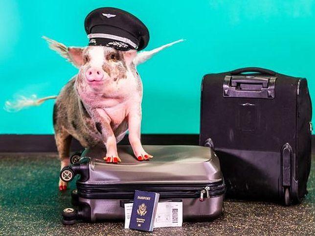 Lilou, świnka z klasą. Poznaj nową pracownicę lotniska w San Francisco