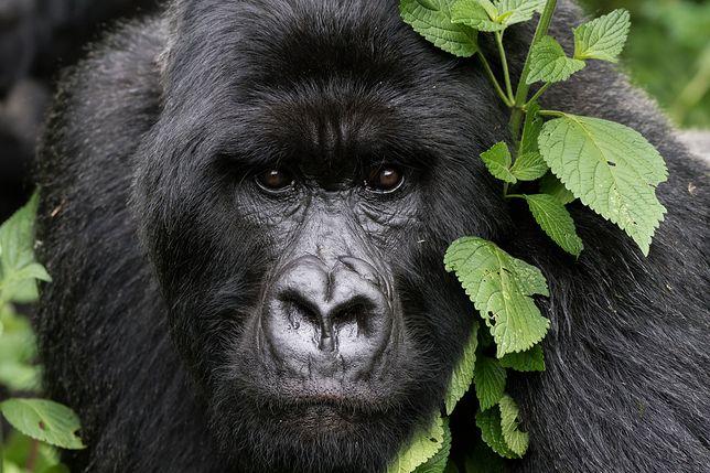 Oficjalnie goryle górskie wciąż są zagrożonym gatunkiem