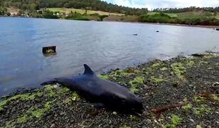 Katastrofa ekologiczna na Mauritiusie. Co najmniej 13 martwych delfinów