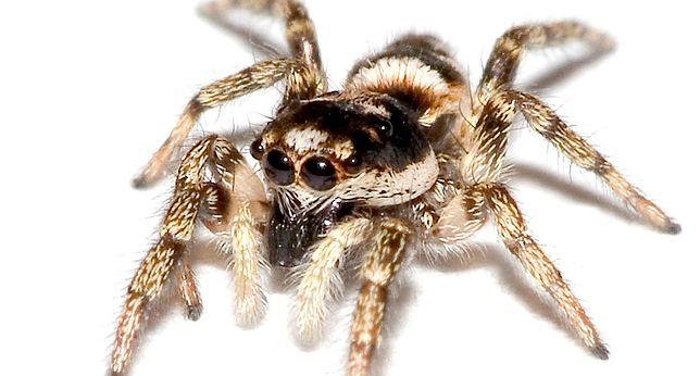 Skakun królewski - jadowity pająk polujący jak kot