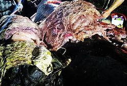 40 kg śmieci w brzuchu walenia. Przerażające znalezisko na Filipinach