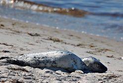 Gdynia. Turyści atakują foki na plaży