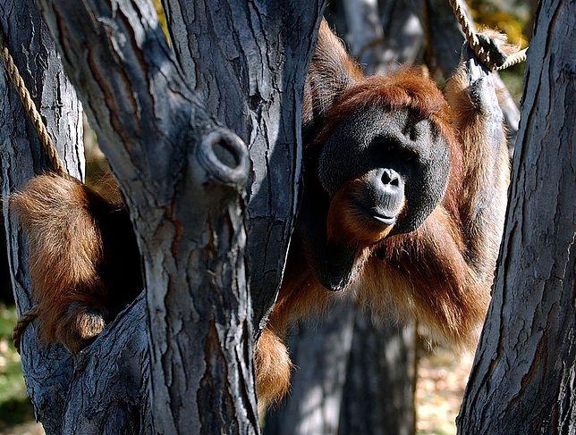 Orangutan w zoo w Denver