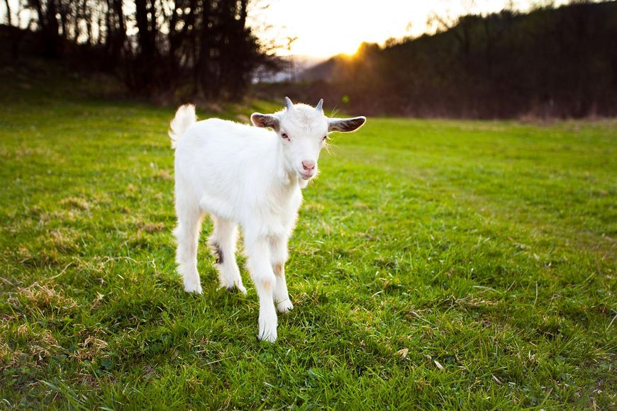 Picie mleka koziego pozytywnie wpływa na zdrowie