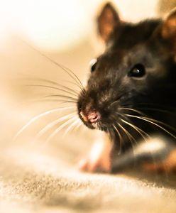 """""""SE"""": Szczury biegają po Pradze-Południe. To już plaga"""