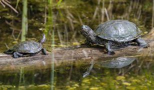 Żółw błotny to gatunek chroniony (zdjęcie poglądowe)