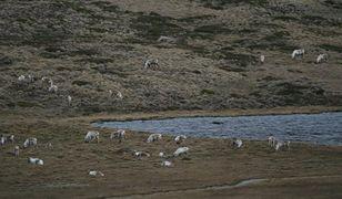 Mniej lodu na morzu to mniej reniferów