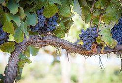 W Sandomierzu uczą jak uprawiać winorośl