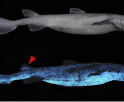 Niezwykłe odkrycie naukowców. Rekiny świecą w ciemności