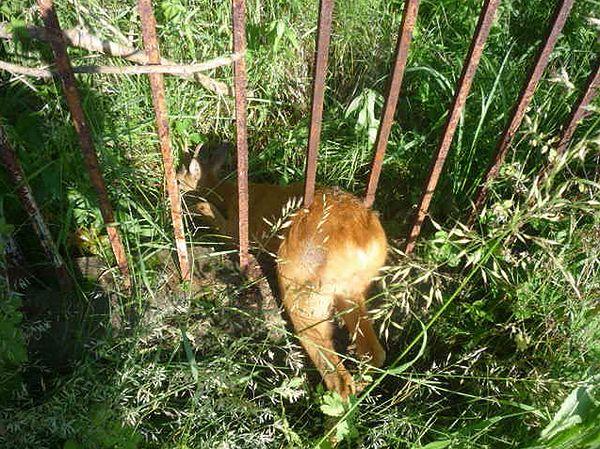 Jelonek utknął w ogrodzeniu przy ul. Wólczyńskiej