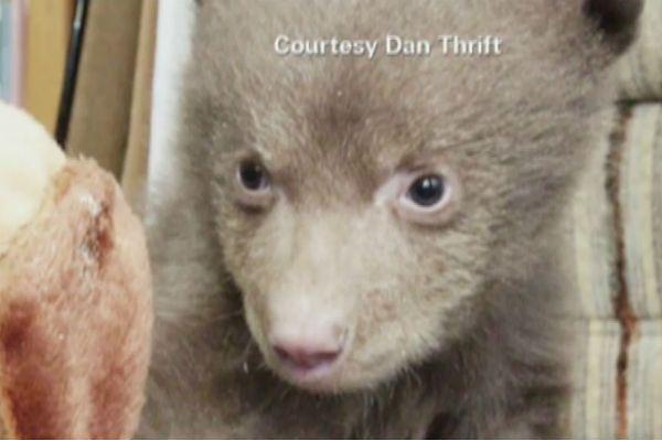 Znalazła na progu 10-tygodniowego niedźwiadka