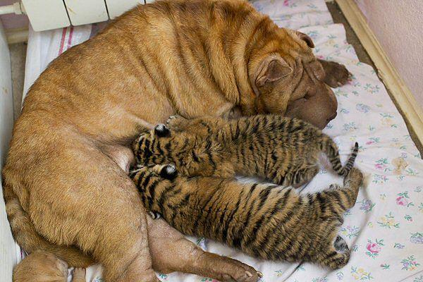 Suczka przygarnęła tygrysy syberyjskie