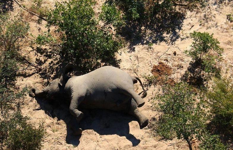 Tajemnicza infekcja wśród słoni. Nie żyje już 34 zwierząt