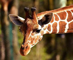 Odkryto wyjątkowo żyrafy. Są inne niż wszystkie