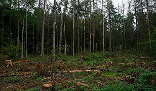 Polski rząd ma zaprzestać wycinki Puszczy Białowieskiej