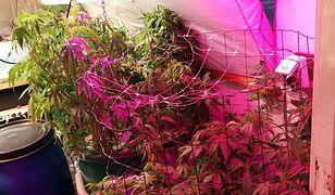 Małżeństwo uprawiało w domu 453 krzewy konopii